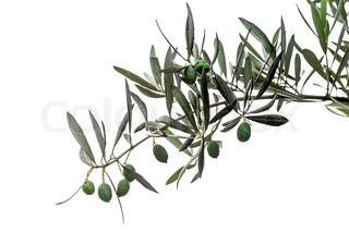 Green olives on branch isolated on white