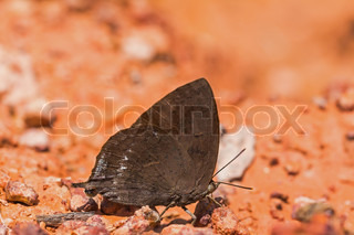 Purple Leaf Blue butterfly