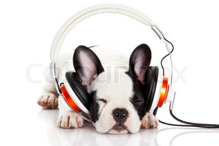 dog listening to music with headphones isolated on white backgroundFrench bulldog puppy portrait on a white background