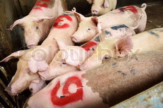 A number of young piglets being reared in pen