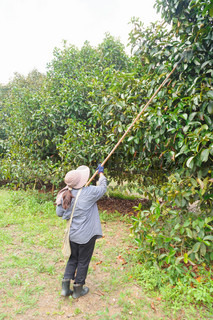 Agriculturists harvesting mangosteen in the garden