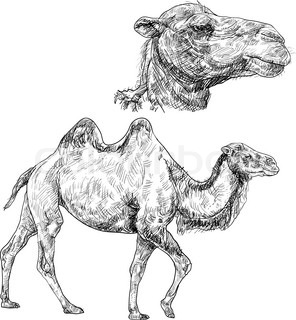Mark furthermore puters likewise Middle east gifts in addition I0000H8jJ8QotgFc furthermore Dromedar. on israel camel