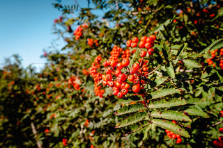 Pyracantha coccinea berries hanging on a tree