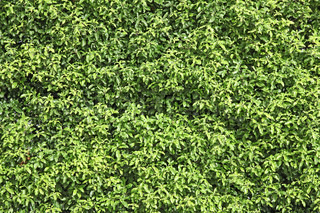 Natural Green Leaf Seamless Bush Wall