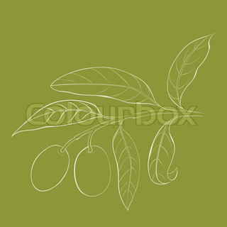Two olives on branch with leaves isolated on green