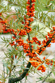 young sea buckthorn bush with ripe berries