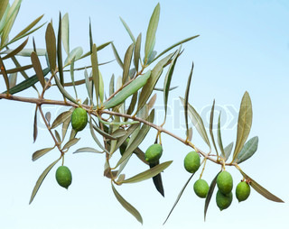Green olive branch photo above blue background