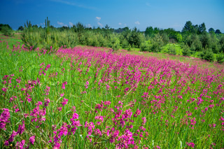 rural landscape with a blossoming meadow