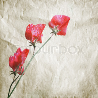 Pink sweet pea flowers Lathyrus odoratus above old paper texture Aquarelle Stylized photo