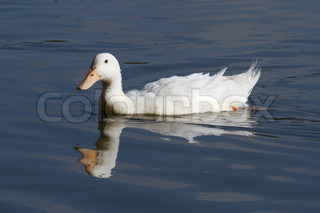 White duck floating on blue water