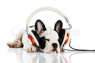 french bulldog with headphone isolated on white background