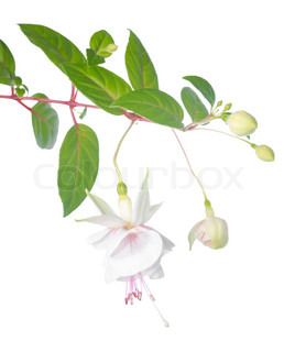 whitefuchsia branch isolated on white background, Frank Unsworth