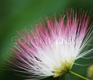 Fluffy acacia