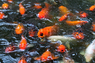 Colorful koi or carp chinese fish in water stock photo for Colorful pond fish
