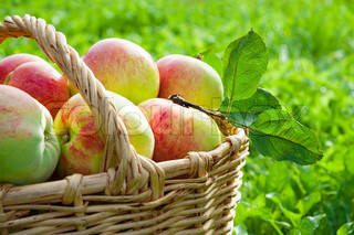 harvesting of apples in the autumn