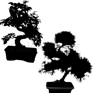 spruce and ficus bonsai isolated on white background
