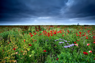 field with red poppy flowers