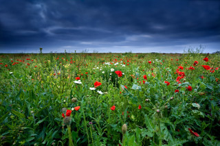 red poppy flowers on green field