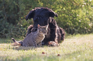 Big black schnauzer dog and grey kitten are relaxing in the garden together