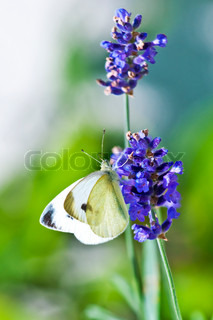 Green-veined White, Pieris napi on lavender