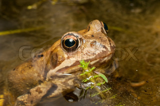 Small brown frog in water