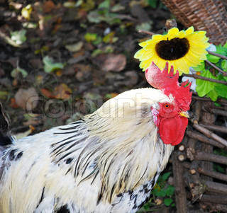 white and black cock at Sunflower