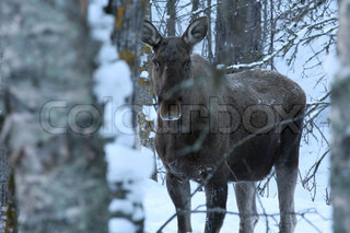 A Moose is standing in snowy forest