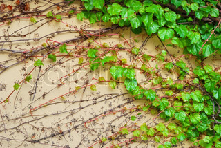 Green vine creeper leaves on a building wall
