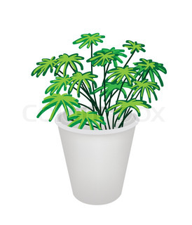 Illustration of Evergreen Plant in A Flower Pot