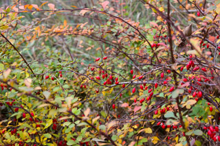 Ripe red berries of barberry Berberis in autumn