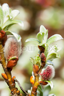 spring buds of pussy-willow