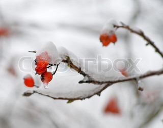 Ashberries in a snow