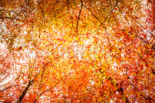 Autumn leaves in a colorful forest