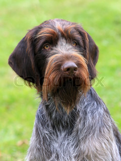 The typical Bohemian wire-haired Pointing Griffon