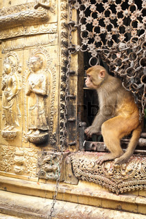 Monkey at Buddhist Shrine Swayambhunath Stupa Monkey Temple Nepal, Kathmandu