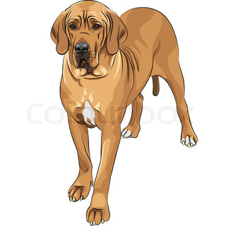 sketch of the fawn dog Great Dane breed