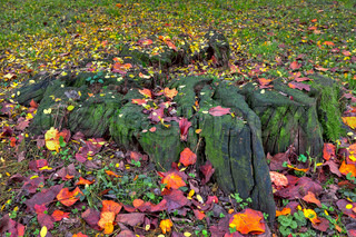 Old tree stump covered with green moss and surrounded by fallen red, yellow and orange leaves in autumn.