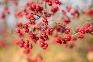 Bunch of hawthorn red berries on the branch