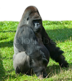 A gorilla male, severe silverback, the chief of a monkey family The most mighty and biggest primate, sunlit great ape, on green grass Beauty of the wildlife Full length portrait