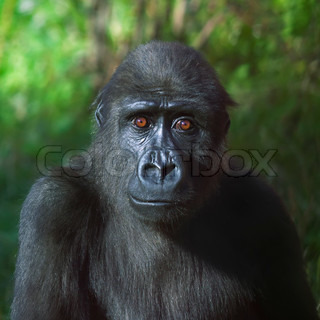 An eye to eye portrait of a young gorilla male on green background The little great ape is going to be the most mighty and biggest monkey of the primate world