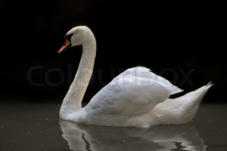 Side face portrait of a whooping swan on black background The head, neck and shoulder of a white swan with orange beak Wild beauty of a excellent web foot bird