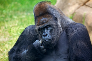 Thoughtful expression of a gorilla male, silverback, family leader The most mighty and biggest monkey of the world A great ape, human like primate