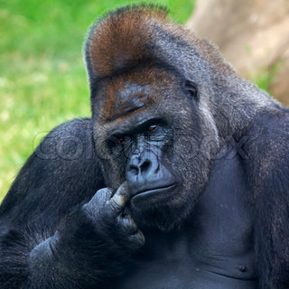 Thoughtful expression of a gorilla male, silverback, family lider The most mighty and biggest monkey of the world A great ape, human like primate
