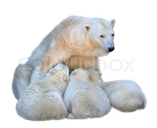 Feeding mother of polar bear with her cubs Family portrait, isolated on white background Wild beauty of dangerous beasts