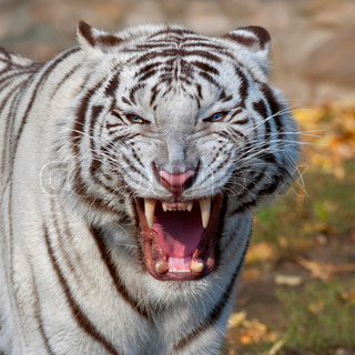 The grin of a white bengal tiger The biggest and most dangerous cat of the world Severe beast shows his fearful fangs A mighty raptor on autumn background