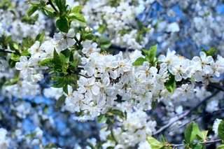 White flowers blossoming tree