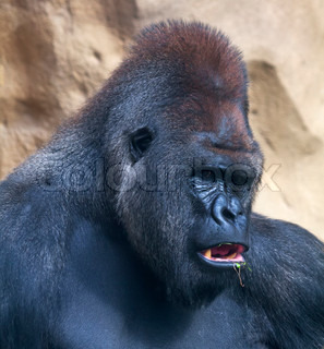A gorilla male, silverback, leader of monkey family, eating grass Menacing look of the great ape, the biggest primate of the world Macro bust portrait of the expressive animal