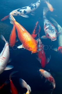 Fishes of Koi Pond