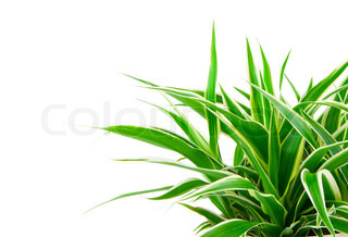 Chlorophytum - evergreen perennial flowering plants in the family Asparagaceae