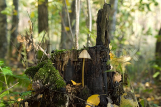 Poisonous toadstool on a stump
